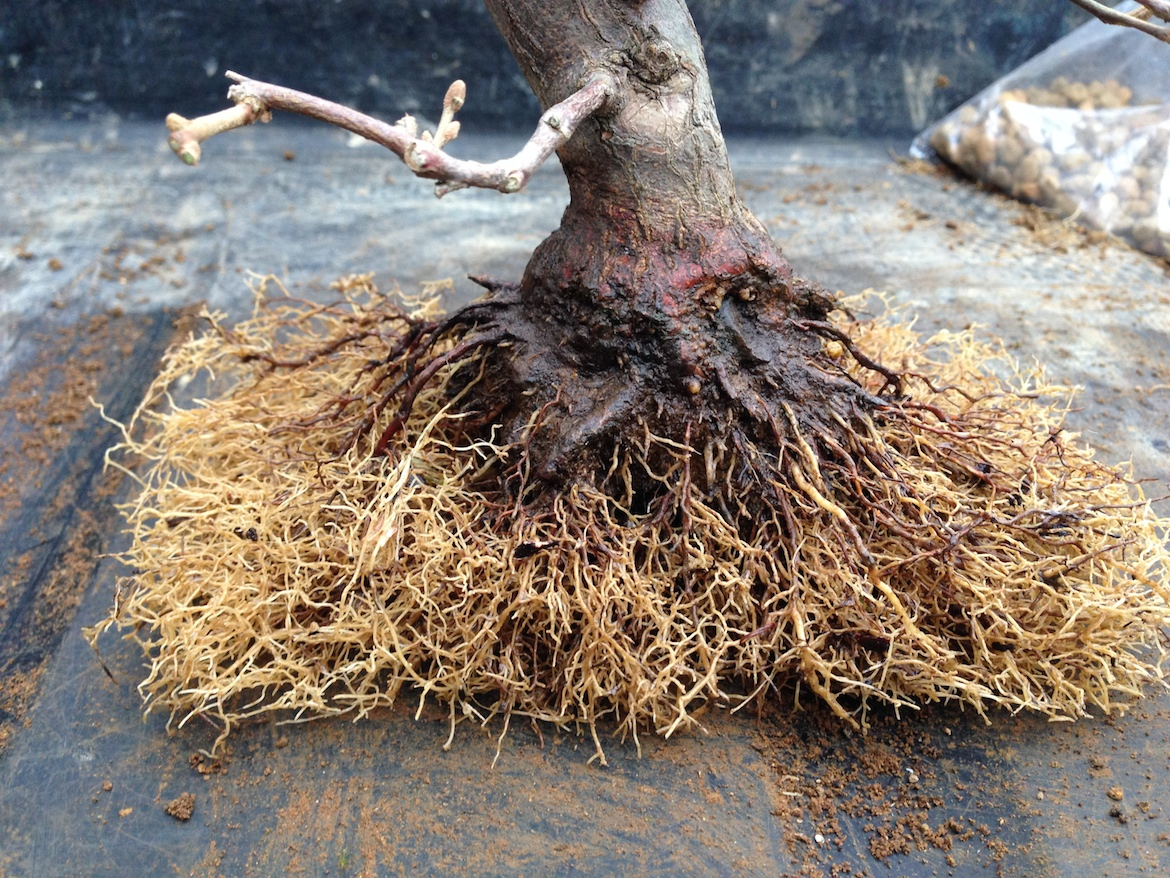 Trimmed roots after washing