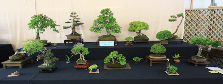 Middlesex Bonsai display