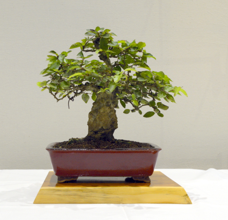 3rd place, SM Korean Hornbeam