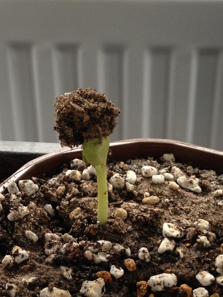 Started germinating in April 2014 after planting in March 2014.