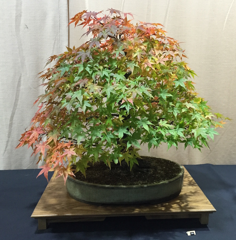 2nd Place Mountain Maple (Acer palmatum) public voted tree owned by Malcolm Driffield of Wessex Bonsai Society and MD Creations in Wood