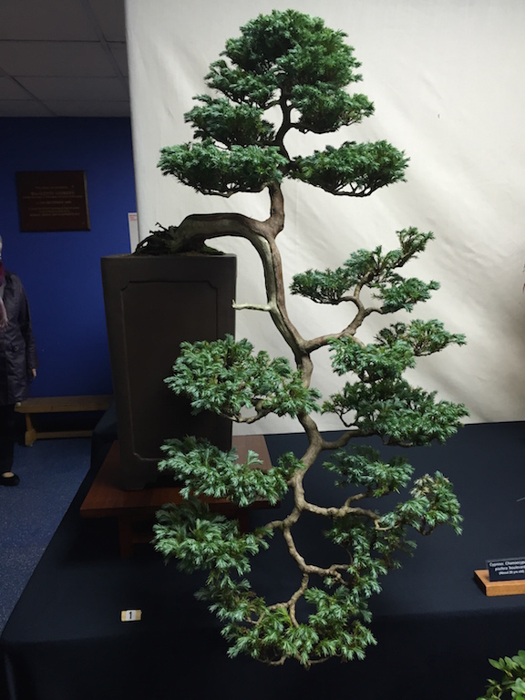 1st place in the public vote was a Boulevard Cypress (C. pisifera 'Boulevard) owned by Kevin Brookes of Newbury & District Bonsai Society