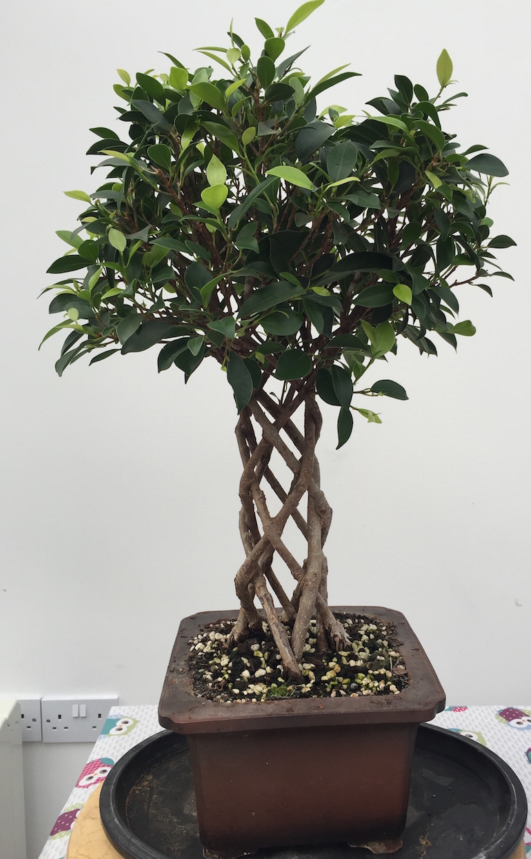 Image following 3 months pruning of the crown to develop a more compact form