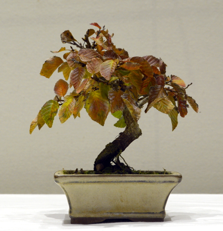 Joint 2nd place, DB Korean Hornbeam