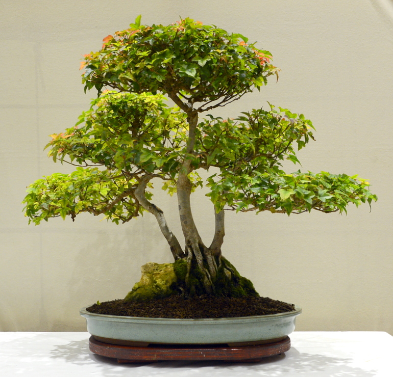 Joint 3rd place, DA Trident Maple