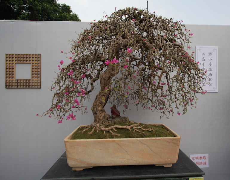 bougainvillea glabra swindon district bonsai