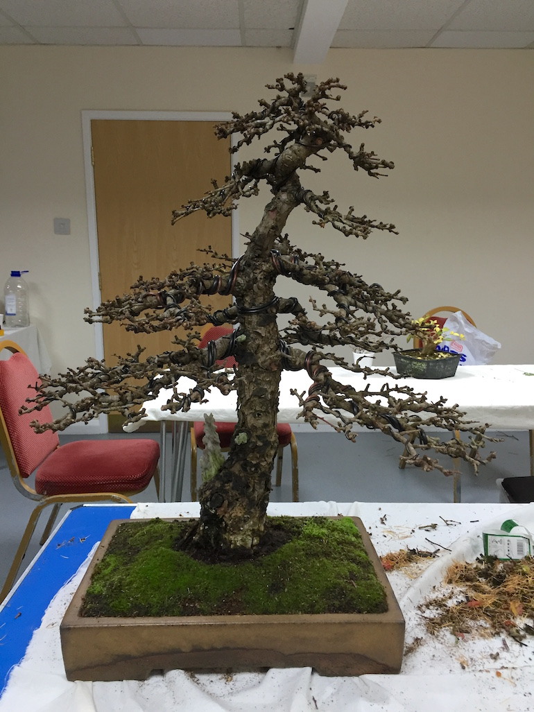 Lee Verhorevoort Bonsai Workshop Swindon District Wiring In Post And Positioning Of Branches