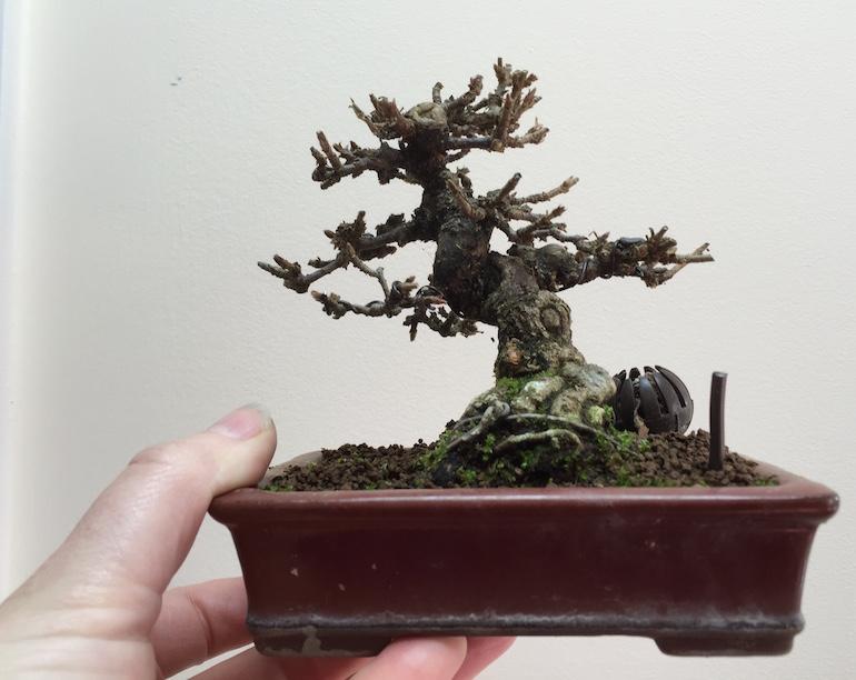 Pruned Virburnum