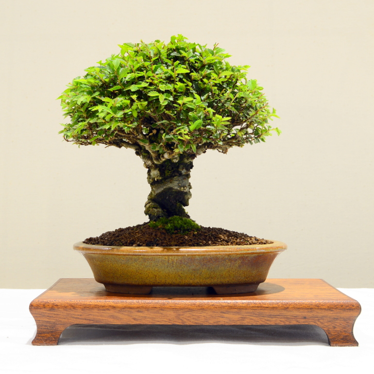 2nd place, SM Chinese Elm