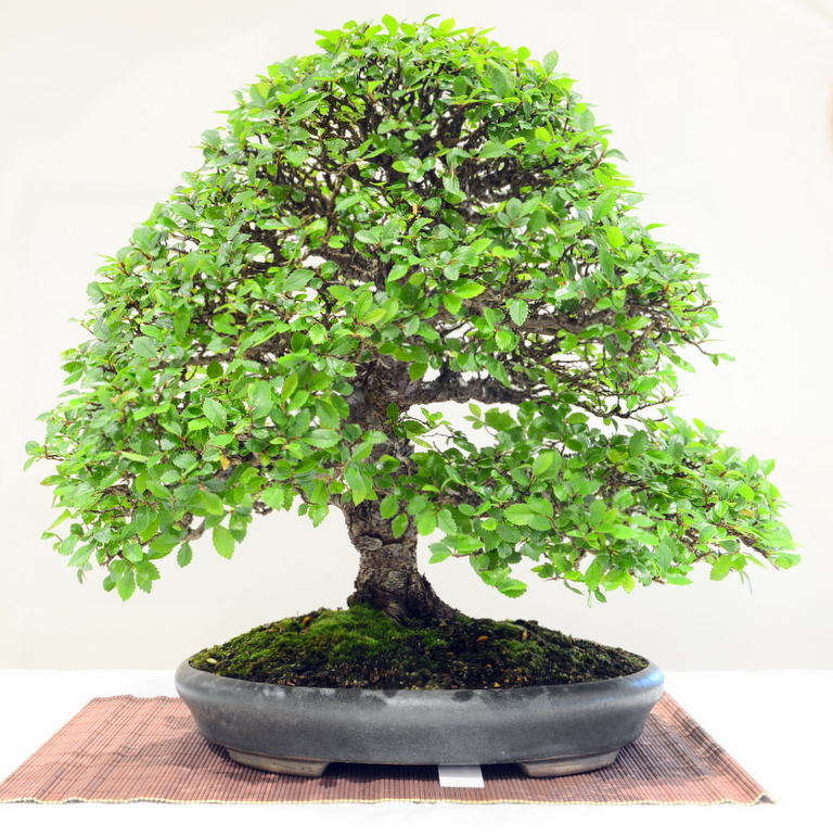 3rd place, PB Chinese Elm
