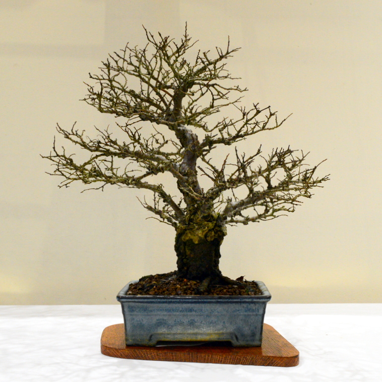 3rd place, MP Chinese Elm