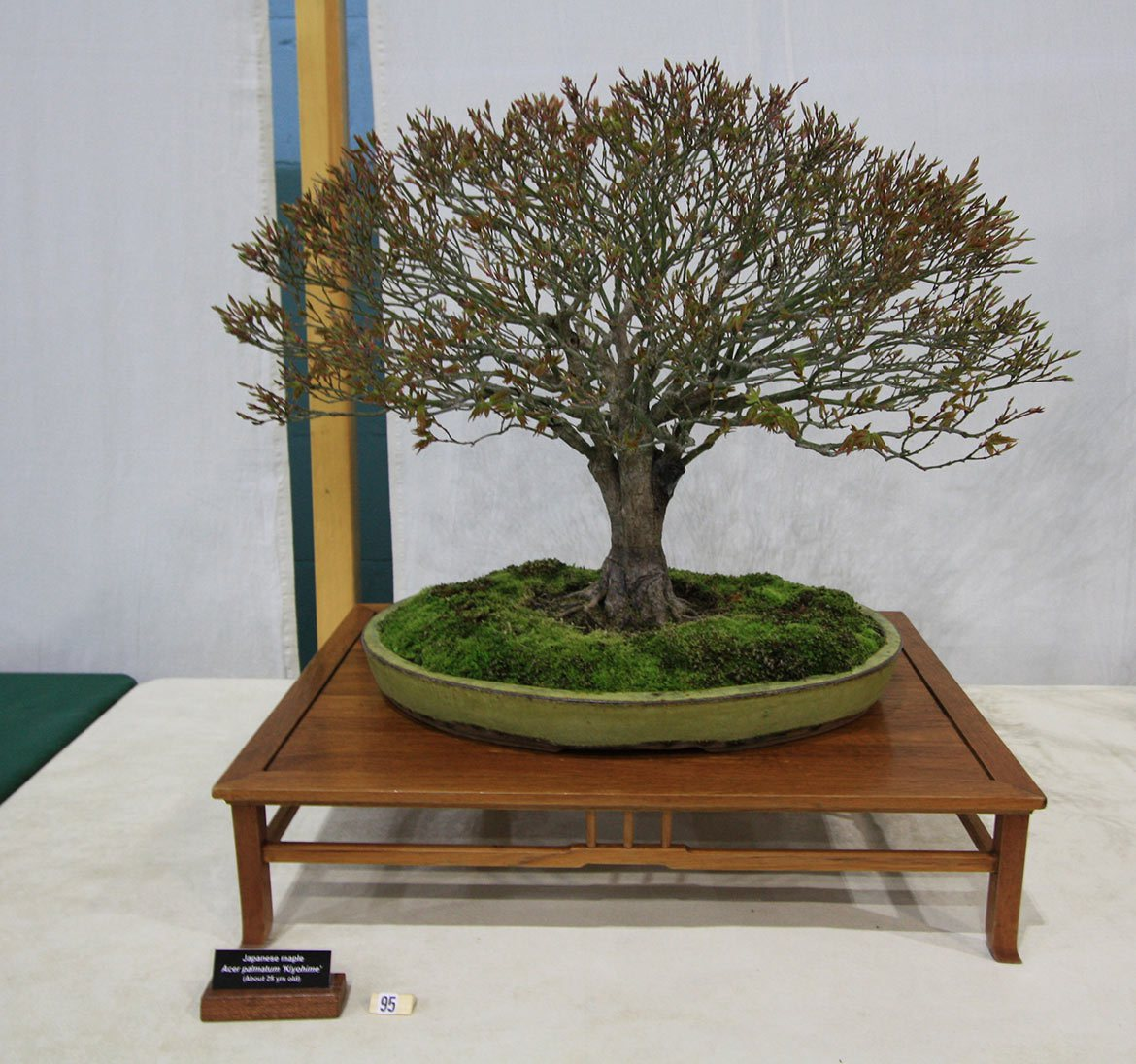 Mark Kerry Swindon District Bonsai Wiring Maple Whilst A Member Of The Newbury And Society I Was Introduced To Displaying Trees Have Shown At Several Shows In South