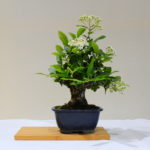 Joint 3rd place, RA Pyracantha