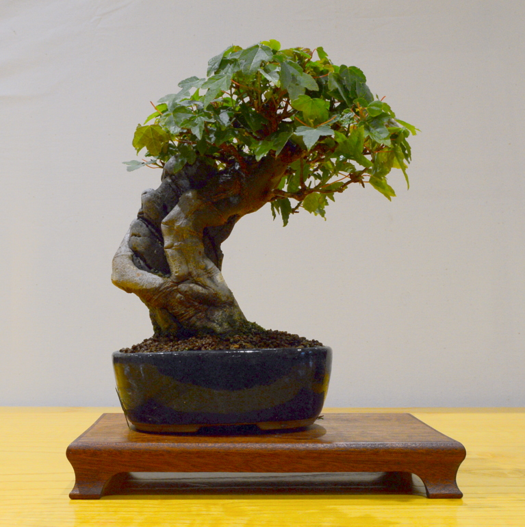 1st place, SM Trident Maple