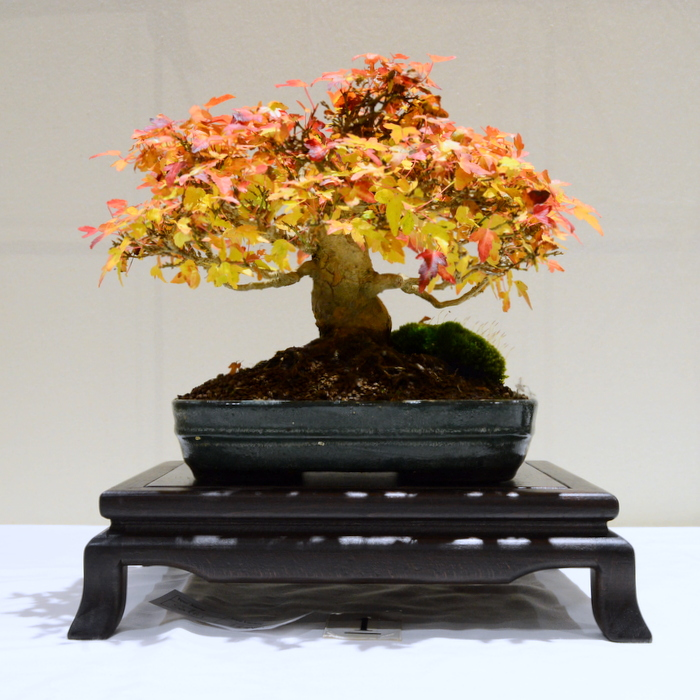 2nd place, SM Trident Maple