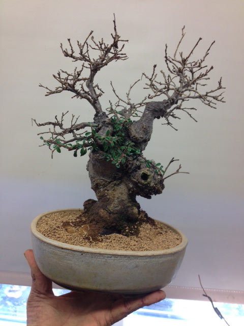 English Elm repotted