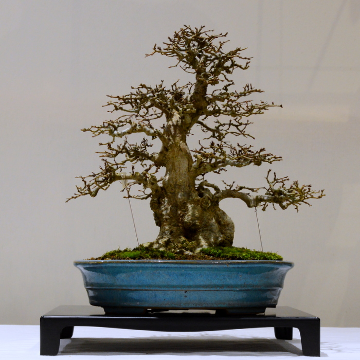1st place, SM Korean Hornbeam