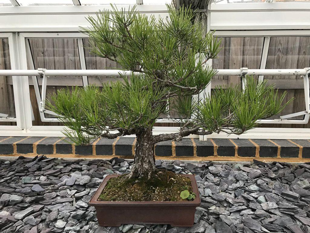 Japanese black pine, Pinus thunbergii