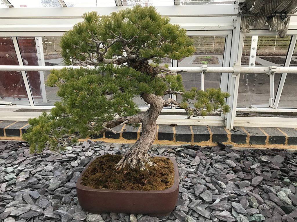Japanese white pine, Pinus parviflora