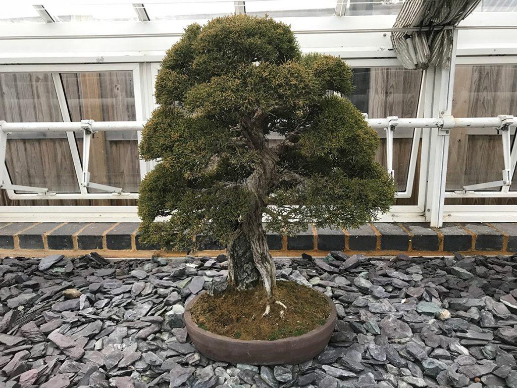 Juniper, Juniperus chinensis 'itiogawa'