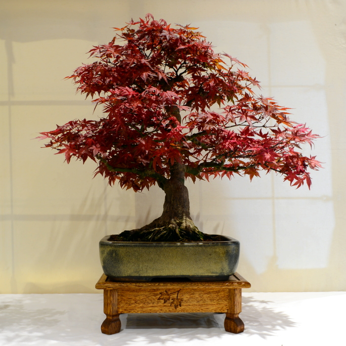 2nd place, DH Acer palmatum