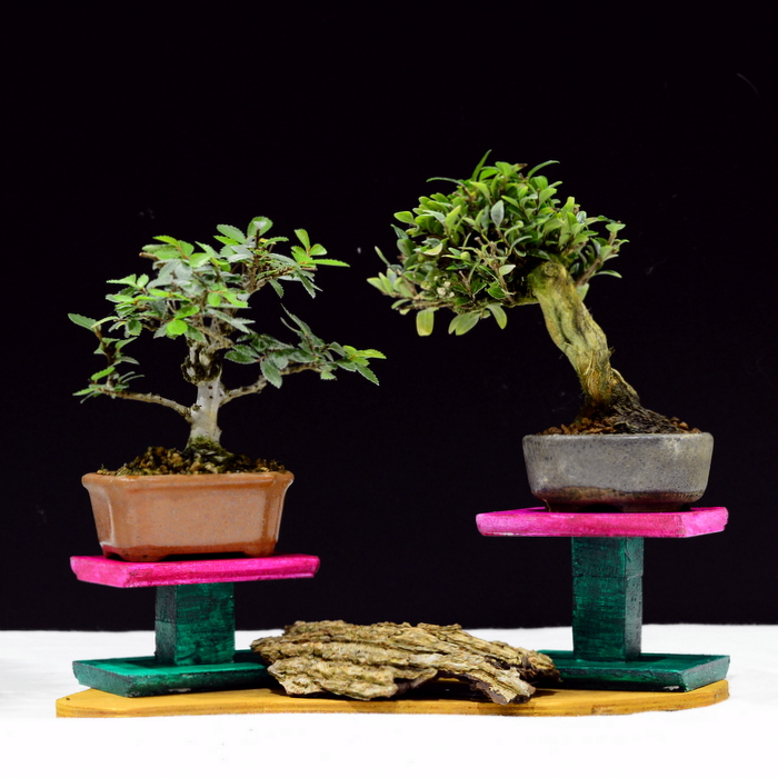 Chinese Elm and Box