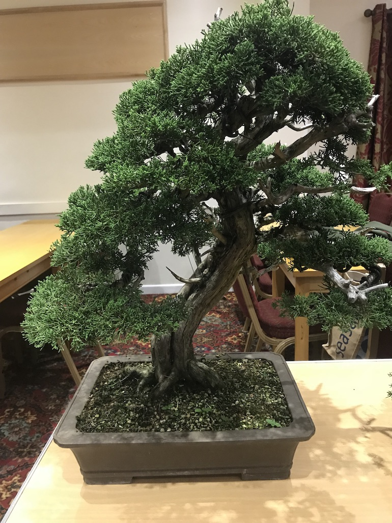 Swindon District Bonsai On Feedspot Rss Feed Wiring Chinese Elm For Styling Juniper It Is Predominantly As They Have A Bushy Habit With Flexible Branches You Will Need To Remove Foliage Aid And