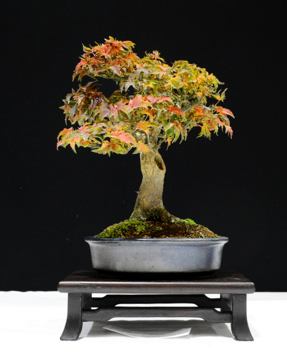 Acer shishigashira. Height 35cm