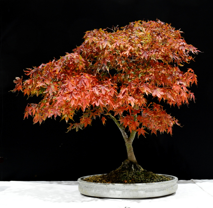 Acer Palmatum. Height 70cm