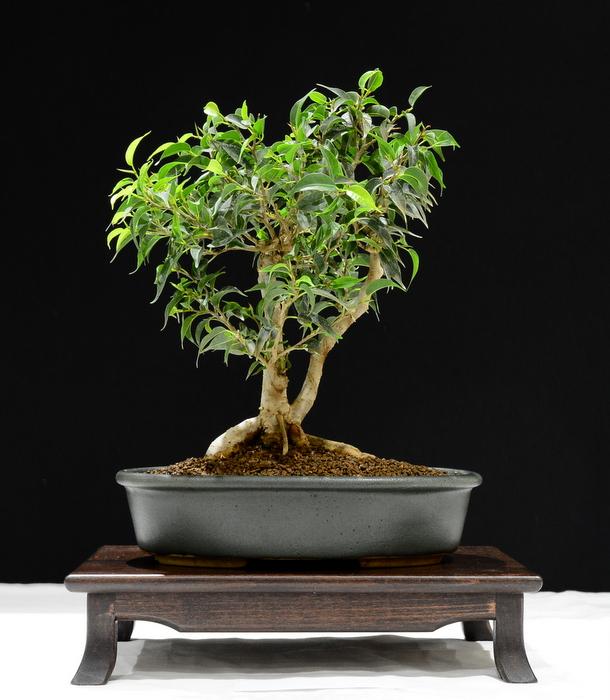 Ficus. Height 34cm