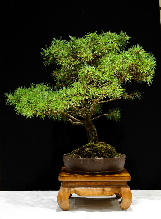 Scots Pine. Height 79cm