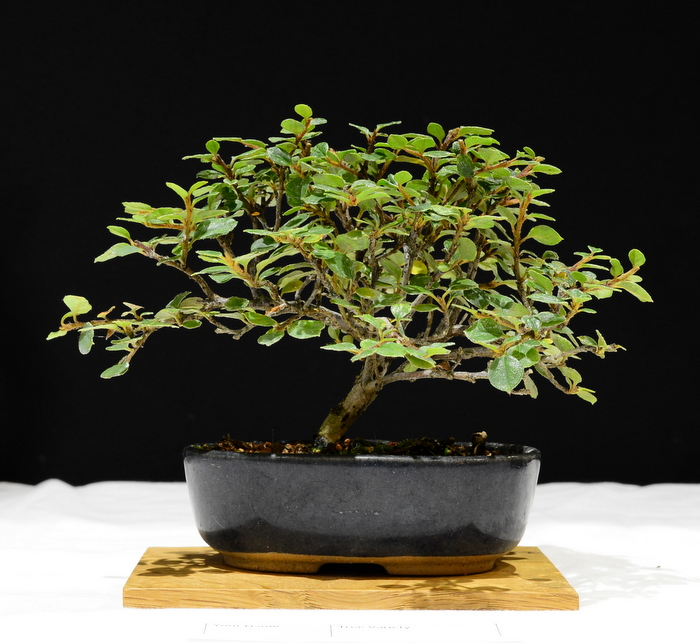 Cotoneaster. Height 15cm