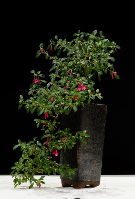 Fuchsia Microphylia. Height 29cm