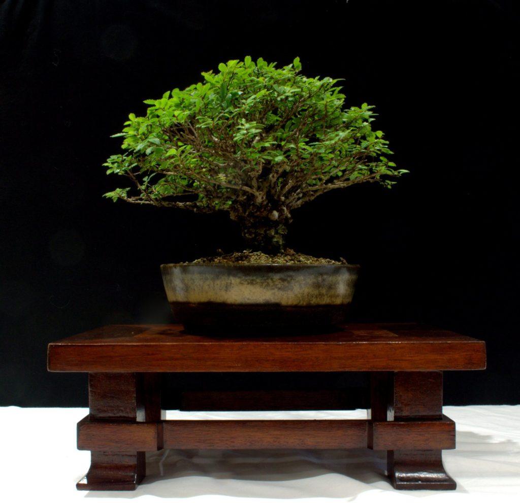 Chinese Elm (Corkbark)