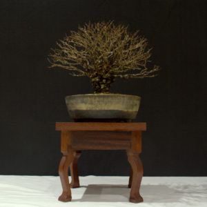 Cork barked Chinese Elm